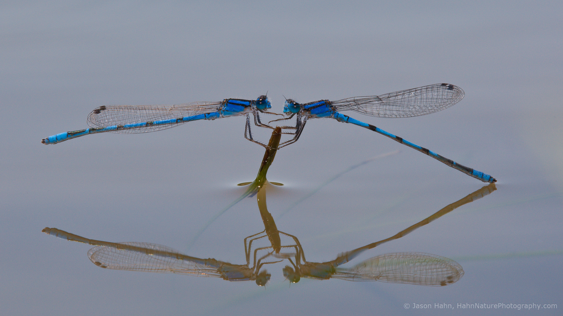 Damselflies perched on a small piece of grass in a pond.