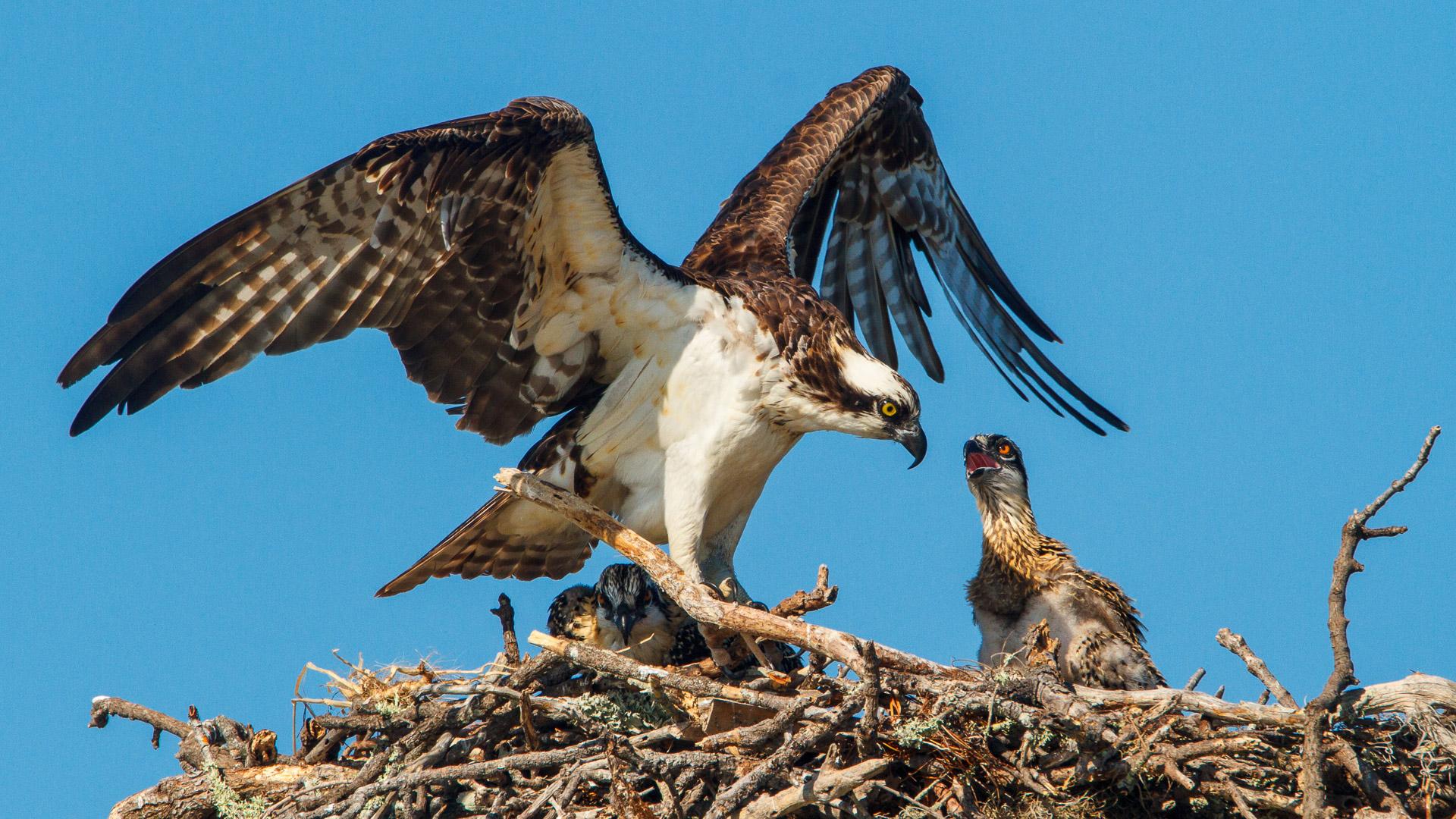 jhahn--osprey-fd-_MG_2692-Edit