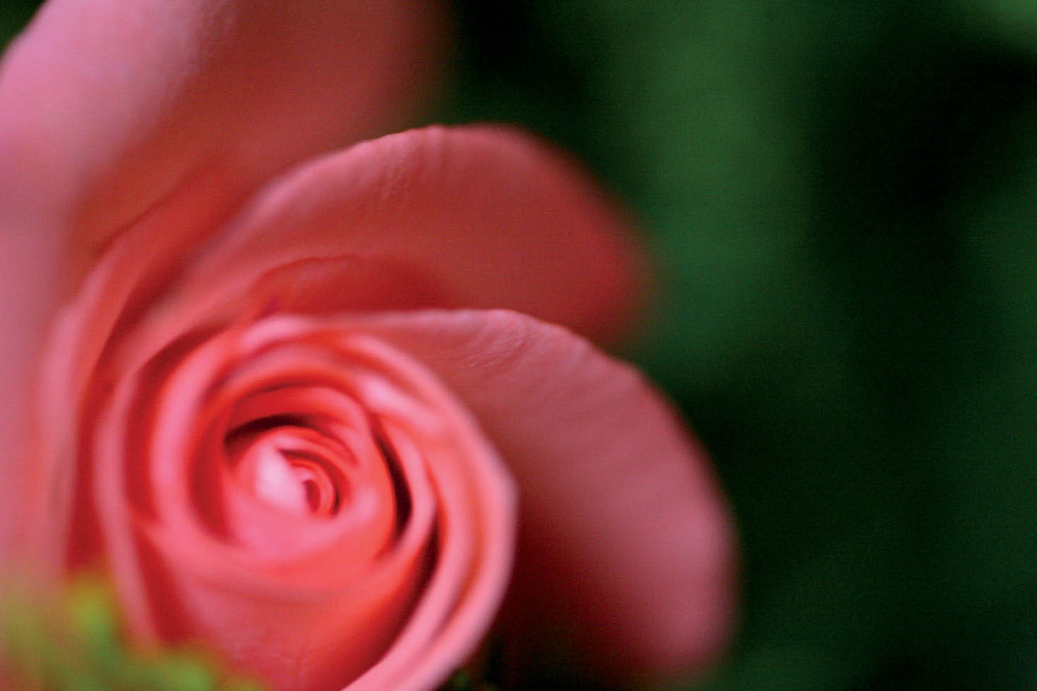 With the focal point of the tightly wrapped center of the rose in the bottom-left third of the frame, the rest is left empty, letting the flower carry the scene without competition.
