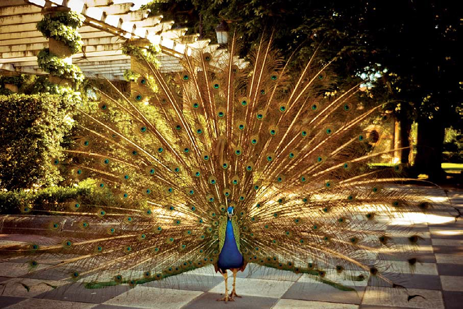A peacock poses in Cecilio Rodriguez Garden, Madrid, Spain. ISO 100; 1/80 sec.; 50mm